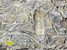 Trace-fossils