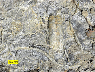 Paleontology - Cambrian trace fossils including Rusophycus, made by a trilobite.