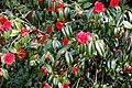Camellia japonica 'Rubescens Major' at RHS Garden Hyde Hall, Essex, England 02.jpg