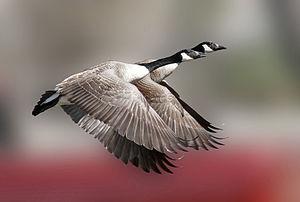 Canada Geese (Branta canadensis) in flight.jpg