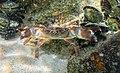 Cangrejo verrugoso (Eriphia verrucosa), Setúbal, Portugal, 2020-08-01, DD 14.jpg