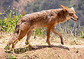 Canis latrans2.jpg