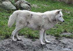 Arktinen susi – Wikipedia