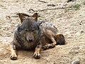 Canis lupus signatus (Kerkrade Zoo) 22.jpg