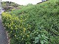 Canola Flowers 20170415.jpg