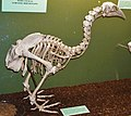 Canterbury Museum, Christchurch - Joy of Museums - South Island Adzebill.jpg