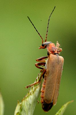 Cantharis cryptica