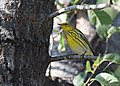 Cape May Warbler (23847648908).jpg