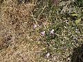 Capparis spinosa (6720199155).jpg