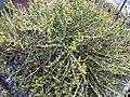 Capparis spinosa 0zz.jpg