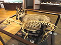 Capricornis crispus - Kyoto University Museum - DSC06437.JPG