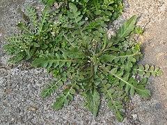 Capsella bursapastoris