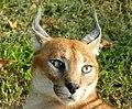 Caracal (Caracal caracal) (captive specimen) (45839223555).jpg