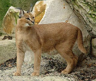 Caracal Small wild cat