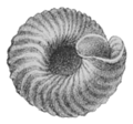 Careoradula perelegans shell 2.png