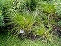 Carex appropinquata - Botanical Garden, University of Frankfurt - DSC02589.JPG