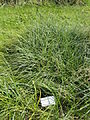 Carex hirta - Botanical Garden in Kaisaniemi, Helsinki - DSC03520.JPG