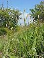 Carex michelii sl6.jpg