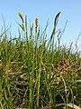 Carex tomentosa sl9.jpg