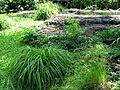 Carex wahuensis subsp. wahuensis (5187370931).jpg