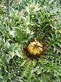Carlina acanthifolia HabitusInflorescence BotGardBln0806a.JPG