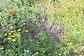Carmel Flora - Hai-Bar Nature Reserve IMG 0784.JPG
