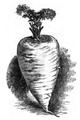 Carotte blanche des Vosges Vilmorin-Andrieux 1883.png