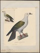 Carpophaga pacifica - 1824-1839 - Print - Iconographia Zoologica - Special Collections University of Amsterdam - UBA01 IZ15600101.tif