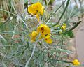 Cassia eremophila.jpg
