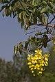 Cassia fistula flower masinagudi.jpg