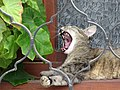Cat Yawning - Veliko Tarnovo - Bulgaria (43170874102).jpg