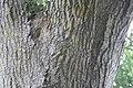 Catalpa longissima 5zz.jpg
