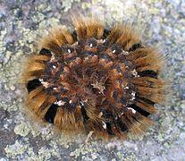 Caterpillar of Lasiocampa quercus 4064.jpg
