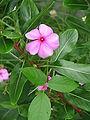 Catharanthus roseus1.JPG