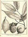 Catinga 1. moschata 2-3. aromatica Aublet 1775 pl 203.jpg