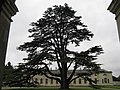 Cedar at Woburn - geograph.org.uk - 956692.jpg