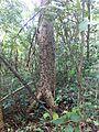 Ceiba aesculifolia.JPG