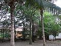 Ceiba pentandra 0003.jpg
