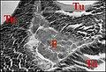 Celaenia, tissu endocrinoïde.jpg
