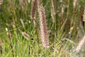 Cenchrus ciliaris-2145 - Flickr - Ragnhild & Neil Crawford.jpg