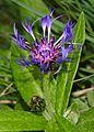 Centaurea montana (2).JPG