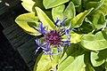Centaurea montana 5zz.jpg