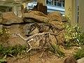 Ceratosaurus and Dryosaurus at the CMNH 2.jpg