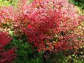 Cercidiphyllum japonicum (Katsura) - Flickr - S. Rae.jpg