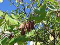 Cercis siliquastrum hojas.jpg