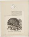 Cercolabes prehensilis - 1700-1880 - Print - Iconographia Zoologica - Special Collections University of Amsterdam - UBA01 IZ20600007.tif