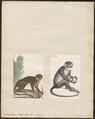 Cercopithecus petaurista - 1700-1880 - Print - Iconographia Zoologica - Special Collections University of Amsterdam - UBA01 IZ19900119.tif