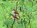 Certhiaxis cinnamomea (Rastrojero barbiamarillo) (14053462138).jpg