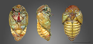 Pupa Life stage of some insects undergoing transformation