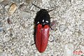 Cf. Ampedus sanguineus (NH266) (28354349656).jpg